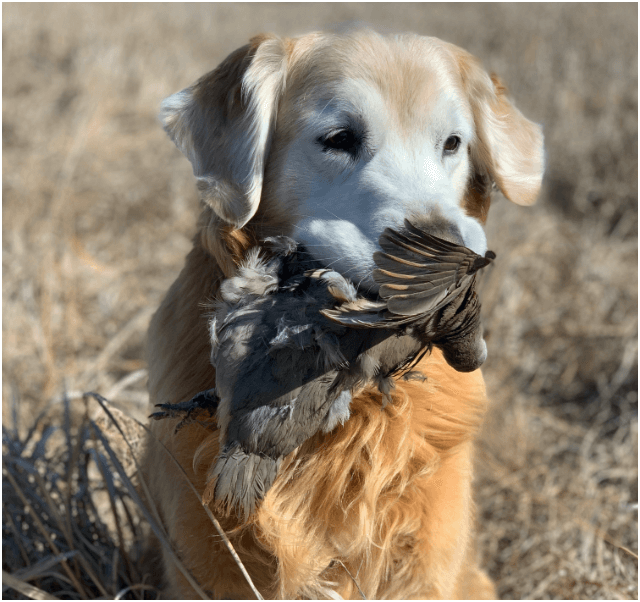 Flushing Dog Training with Gun Dog Success