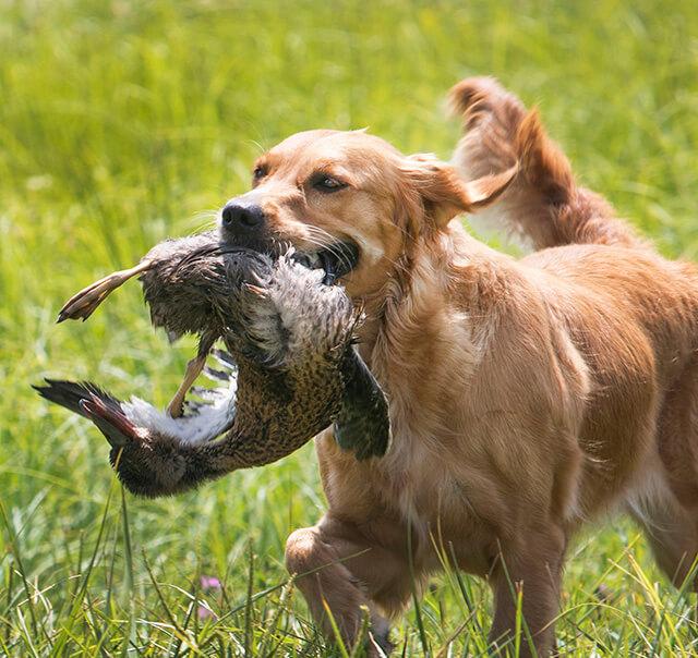 Retriever Training Program with Gun Dog Success