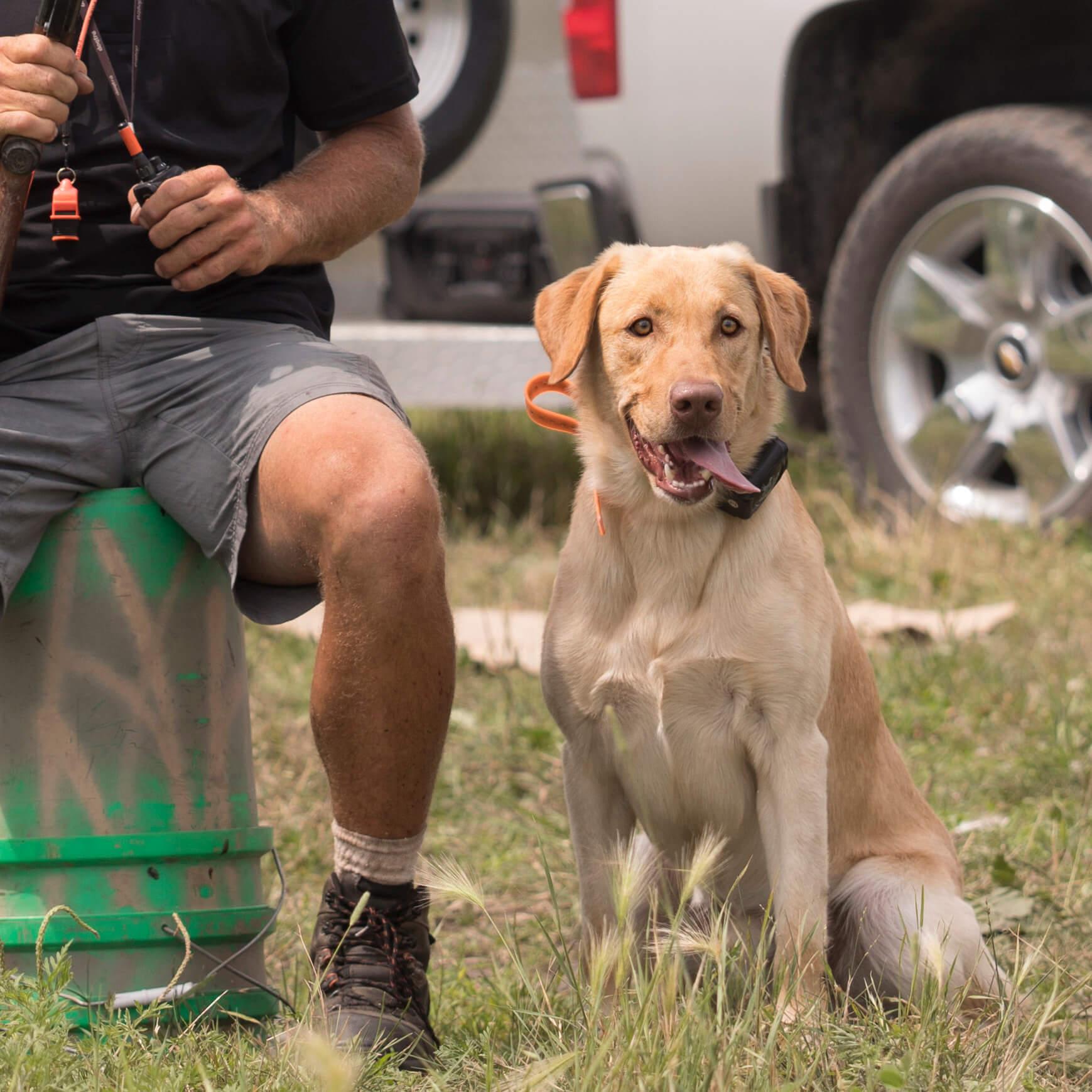 Labrador retriever training program
